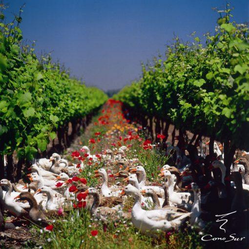 ワイン畑を横切るアヒル