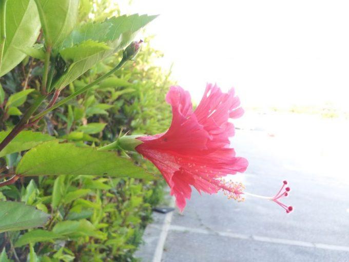 駐車場に咲いたハイビスカスの花