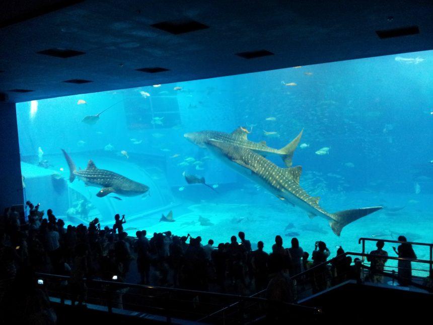 超巨大な水槽で泳ぐ3匹のジンベエザメ
