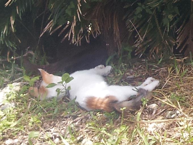 木の下で寝る猫の拡大写真