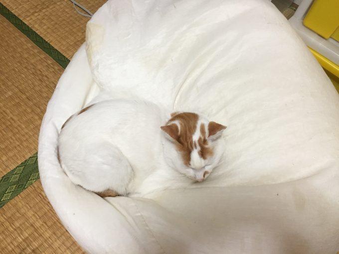 クッション大好き猫