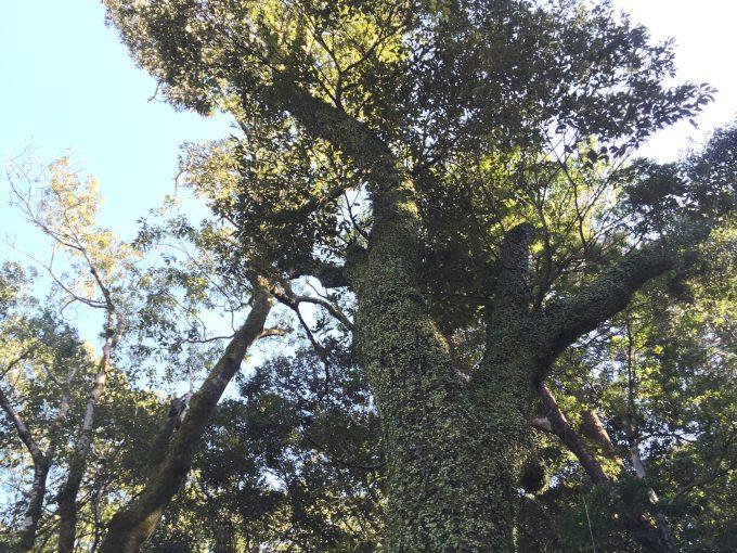 そびえる苔むした大木