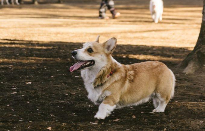 公園を走る、コーギー