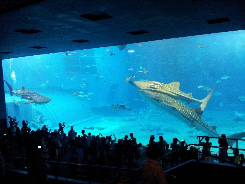 超巨大な水槽で悠々と泳ぐジンベエザメ