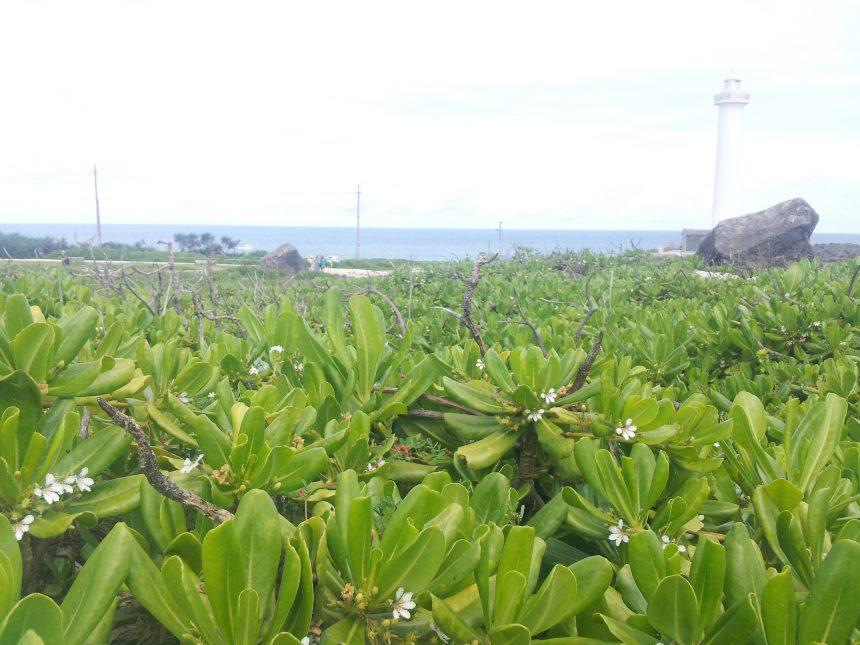 残波岬に生える、南国感満点の植物