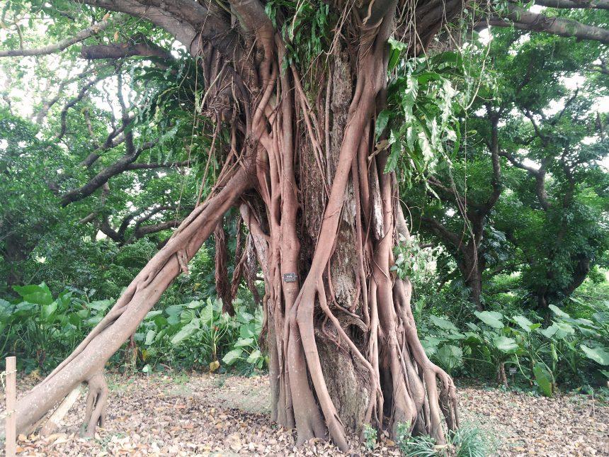 樹齢かなりの大木熱帯性植物アコウ。