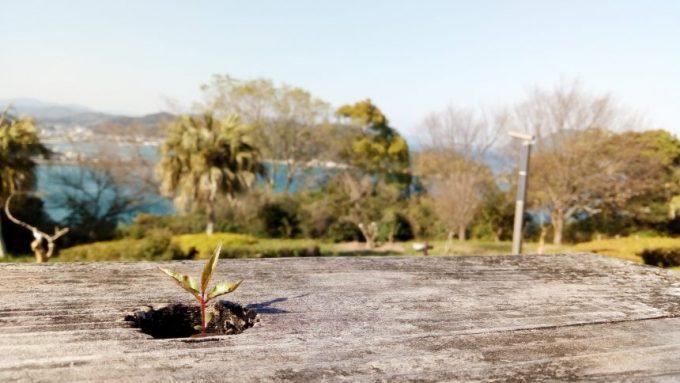 展望台のベンチから生えた草(花)