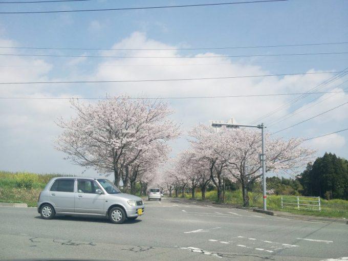 道路に咲く桜。桜並木。